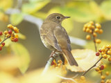 Hermit Thrush (Catharus Guttatus), the State Bird of Vermont, USA Photographie par Steve Maslowski