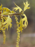 Staminate Catkins and Spring Leaves of a Turkey Oak, Quercus Laevis, Eastern USA Photographic Print by David Sieren