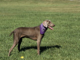 Weimaraner Variety of Domestic Dog Photographic Print by Cheryl Ertelt