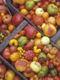 Harvest of Genetically Diverse Heirloom Tomato Varieties Lmina fotogrfica por David Cavagnaro