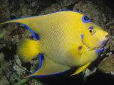 Queen Angelfish, Bermuda to Brazil Fotografisk tryk af Ken Lucas