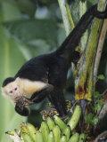 White-Faced Capuchin Monkey Eating Bananas, Cebus Capucinus, Costa Rica Fotografie-Druck von Gustav W. Verderber