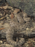 Midget Faded Rattlesnake, Crotalus Viridis Concolor, Southwestern USA Photographic Print by Joe McDonald