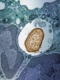 A Staphylococcus Bacterium Engulfed by a Macrophage or Phagocyte Photographic Print by George Musil