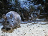 Woodrat or Packrat (Neotoma) Active at Night in the Southwestern Usa Desert Photographic Print by Steve Maslowski