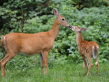 White-Tailed Fawn Nipping Mother's Nose Fotodruck von Gustav W. Verderber