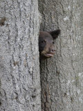 Black Bear Cub Peeking from Behind Tree Fotografie-Druck von Gustav W. Verderber