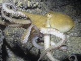 Two-Spot Octopus (Octopus Bimaculoides) Southern California, USA Photographic Print by Ken Lucas