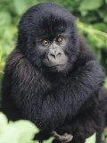 Baby Mountain Gorilla, Gorilla Gorilla Beringei, Volcano National Park, Rwanda, Africa Photographie par Joe McDonald