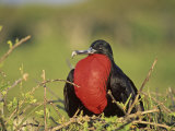 Male Great Frigatebird Displaying, Fregata Minor, Genovesa Island, Galapagos Islands Photographie par John & Barbara Gerlach