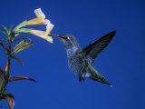 Anna's Hummingbird, Calypte Anna, North America Photographie par Charles Melton