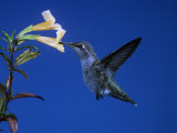 Anna's Hummingbird, Calypte Anna, North America Photographic Print by Charles Melton