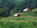 Tobacco Field and a Pair of Red Barns Near Taylorsville, North Carolina, USA Photographic Print by Adam Jones