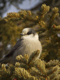 Gray Jay, Perisoreus Canadensis, North America Photographic Print by John Cornell