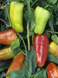 A Variety of Colorful Peppers, Capsicum Annuum Photographic Print by David Cavagnaro