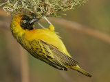 Lesser Masked Weaver Male at its Nest, Ploceus Intermedius, Lake Baringo, Kenya, Africa Photographie par Arthur Morris
