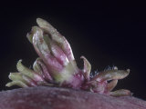 Close-Up of a Potato Eye Sprouting, Solanum Tuberosum Photographic Print by Jerome Wexler