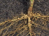 Nitrogen-Fixing Bacteria (Rhizobium) Nodules on Soybean Roots (Glycine Max) Photographic Print by Wally Eberhart