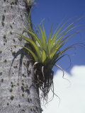 Epiphytic Bromeliads Growing on a Tropical Palm Tree Trunk Photographic Print by Carol & Don Spencer