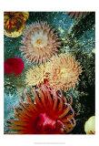 Graphic Sea Anemone III Poster