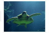 Aegean Sea Turtles II Print