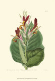 Antique Canna II Prints by Van Houtt