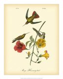 Mango Hummingbird Giclee Print by John James Audubon