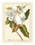 Magnificent Magnolias I Giclee Print by Jacob Trew