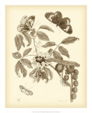Nature Study in Sepia II Poster by Maria S. Merian