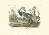 Louisiana Heron Posters by John James Audubon
