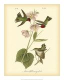 Anna Hummingbird Reproduction procédé giclée par John James Audubon