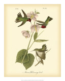 Anna Hummingbird Prints by John James Audubon