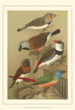Pet Songbirds I Print by  Cassel