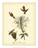 Ruff-neck Hummingbird Giclee Print by John James Audubon