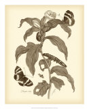 Nature Study in Sepia I Giclee Print by Maria Sibylla Merian