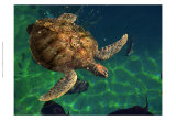 Aegean Sea Turtles III Prints