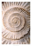 Ammonite II Prints