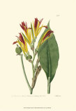 Antique Canna I Print by  Van Houtt