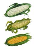 Ears of Corn Giclee Print