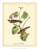 Bay Breasted Wood-Warbler Giclee-trykk av John James Audubon