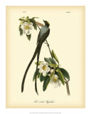 Fork-Tailed Flycatcher Giclee Print by John James Audubon