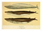 Blue and Fin Whales, 1905 Giclee Print