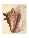 Queen Conch Shell, 1853 Giclee Print