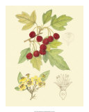 Berries and Blossoms III Giclee Print by Samuel Curtis