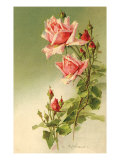 Stems of Pink Roses Giclee Print