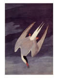 An Artic Tern, 1833 Giclee Print by John James Audubon