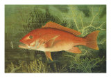 Red Snapper, 1880 Reproduction procédé giclée par S.a. Kilbourne