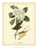 Canada Flycatcher Art by John James Audubon