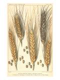 Wheat Stalks, 1900 Giclee Print