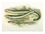 Five Lampreys, 1879 Giclee Print by A.f. Lydon